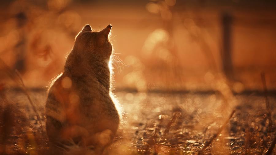 asik-kedi