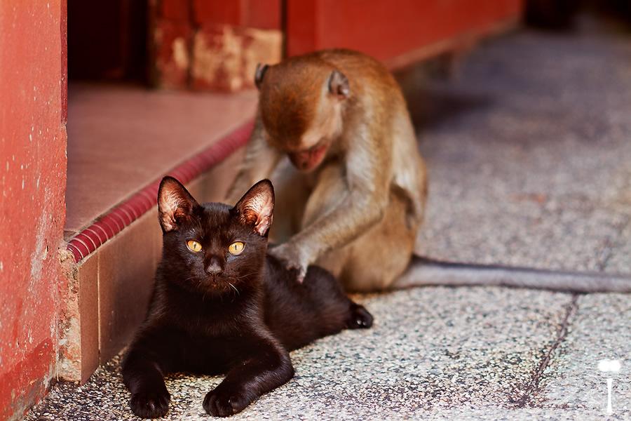 maymun-kedi
